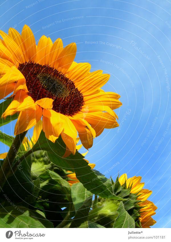 sommer Sonnenblume grün gegen Pflanze Himmel schön Blume Sommer blau Sun blue sky