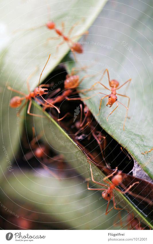 Fleißige Baumameisen Natur Baum rot Blatt beobachten Tiergruppe viele Asien Insekt bauen verbinden Nest Ameise attackieren Zange Sri Lanka