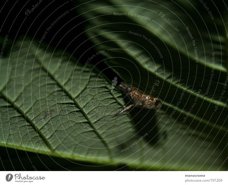 Spaltenhocker Natur grün Sommer Blatt klein Frosch Spalte Lurch Schattenspiel Klemme