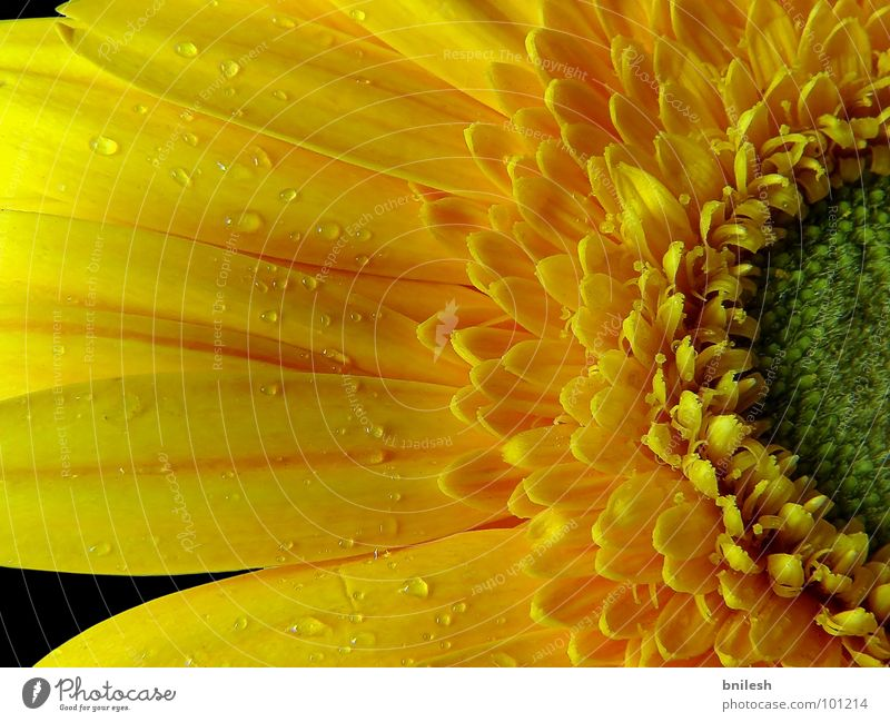 Refreshing Yellow ruhig gelb springen Frühling Blume Gerbera