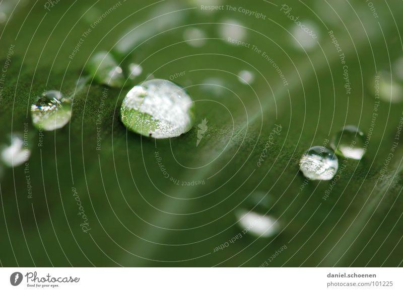Regentropfen Blatt rund glänzend Pflanze Wachstum grün Hintergrundbild abstrakt weiß durchsichtig Klarheit Makroaufnahme Nahaufnahme Wasser Kugel Blattgrün
