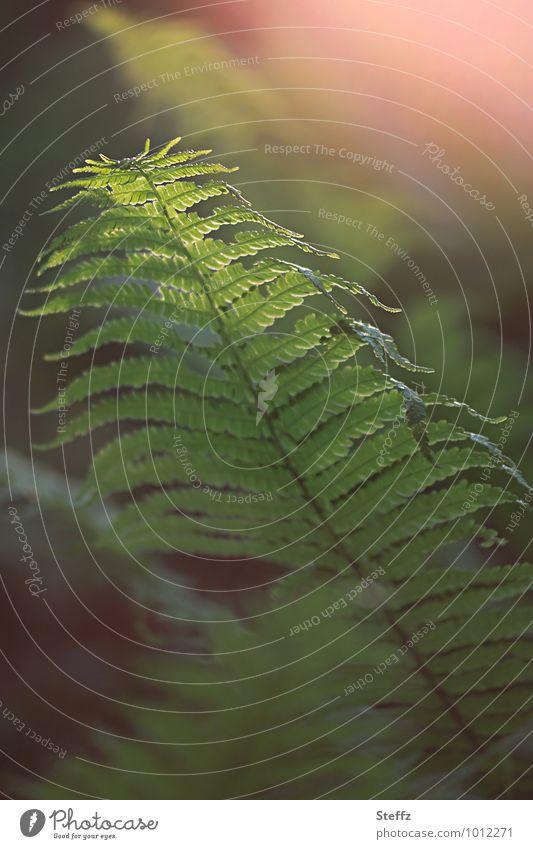 Magie des Waldfarnes Natur Pflanze Frühling Grünpflanze Wildpflanze Farn Farnblatt grün Waldstimmung Lichtstimmung Stimmung geheimnisvoll Unschärfe Lichteinfall