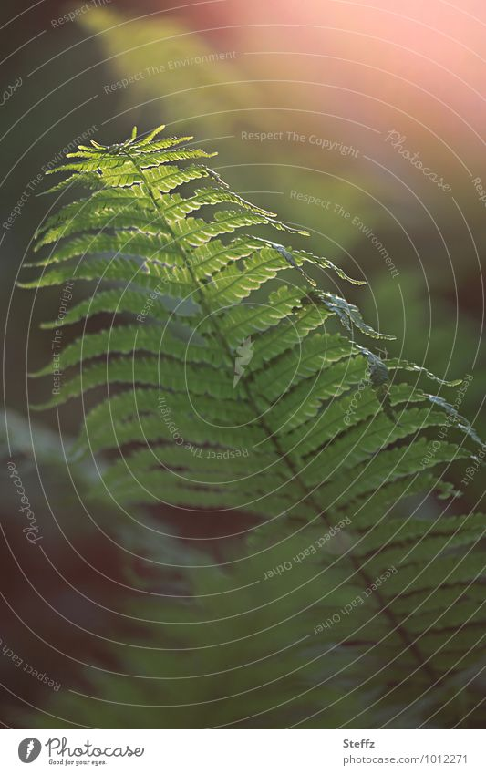 Magie des Waldfarnes Natur Pflanze grün Frühling Stimmung geheimnisvoll zart Grünpflanze Farn Wildpflanze Lichteinfall Farnblatt Lichtstimmung zartes Grün