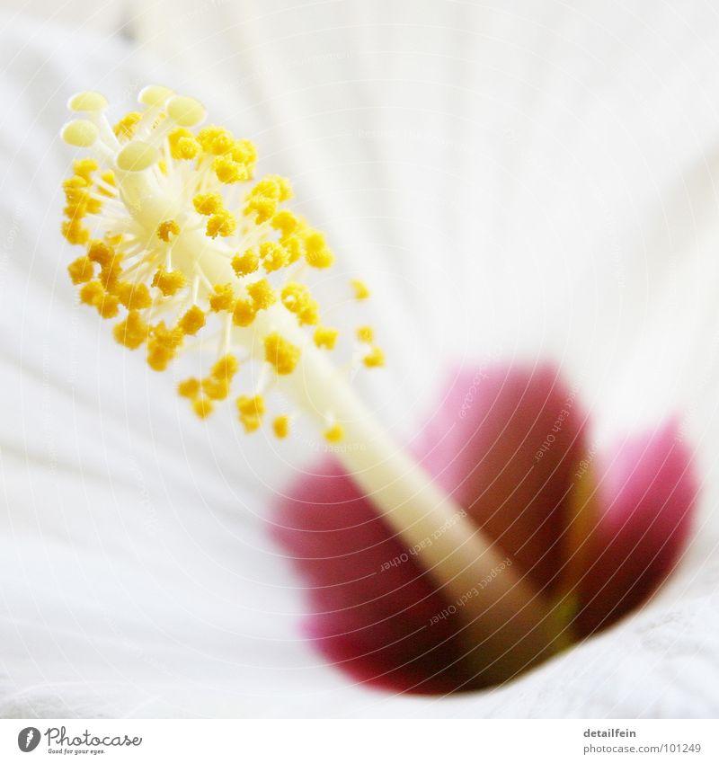 hibi Blume Blüte gelb weiß Hibiscus Blütenstiel lina Pollen Farbfoto Nahaufnahme Detailaufnahme Makroaufnahme Menschenleer
