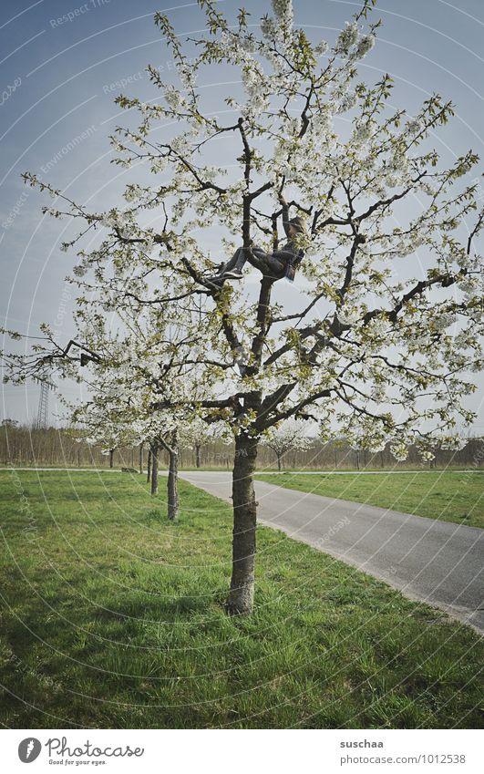 noch so ein vorbote Umwelt Natur Himmel Frühling Klima Wetter Schönes Wetter Baum Gras Feld frei Klettern Blüte Kirschbaum Apfelbaum Wege & Pfade Kind Farbfoto