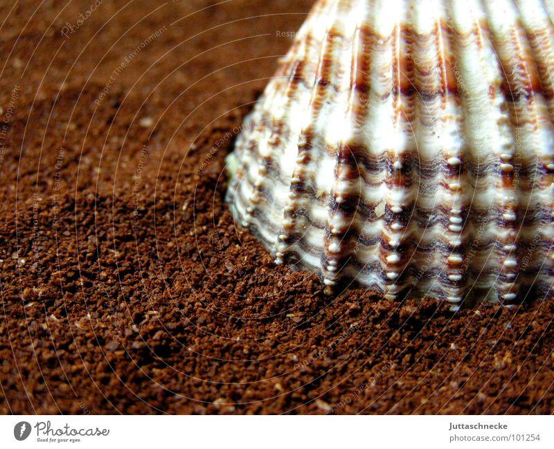 Mi Shell Muschel braun Stillleben Makroaufnahme Nahaufnahme Frieden Kraft shell Shells Coffee brown Juttaschnecke