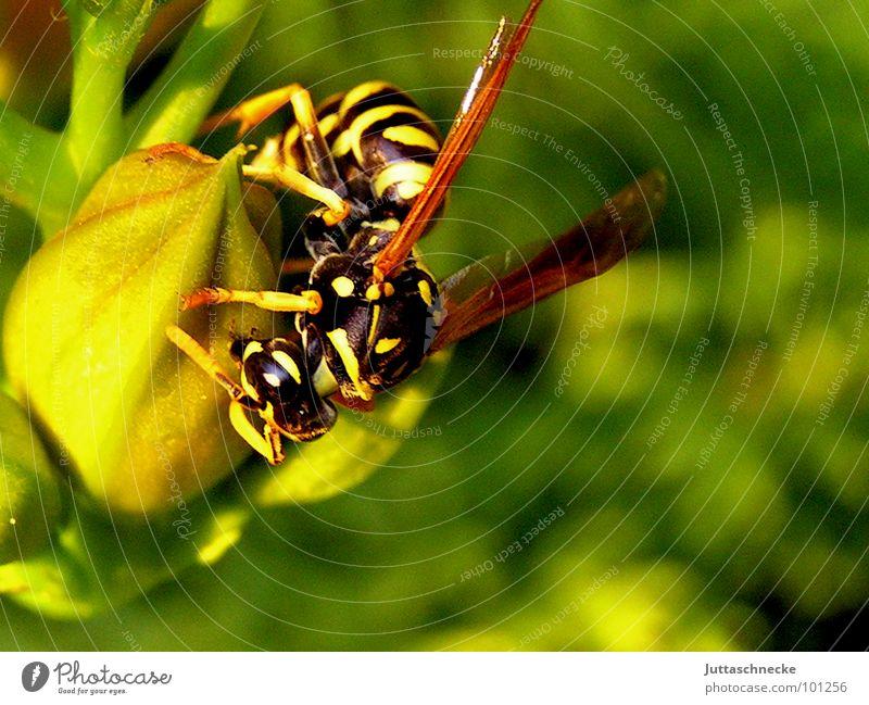 Fast Food? Wespen Insekt stechen gefährlich gelb schwarz Natur Makroaufnahme Sommer Blume Blüte grün krabbeln Panik Angst Nahaufnahme wasp wasps insect insects