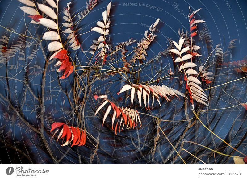 blattserie ..1 Himmel Nachthimmel Herbst Baum Blatt blau rot Ast Geäst Zweig durcheinander Farbfoto mehrfarbig Außenaufnahme Experiment Muster