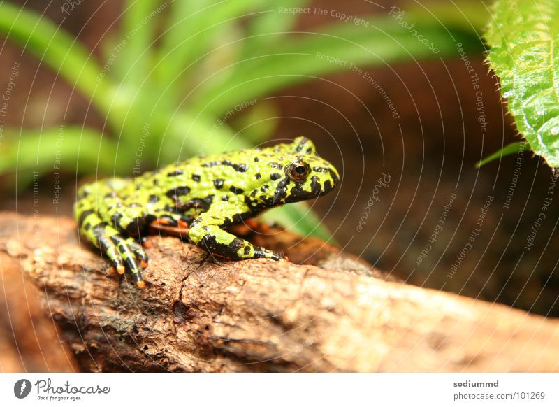 Bombina orientalis Natur grün Frosch Lurch Unke Rotbauchunke