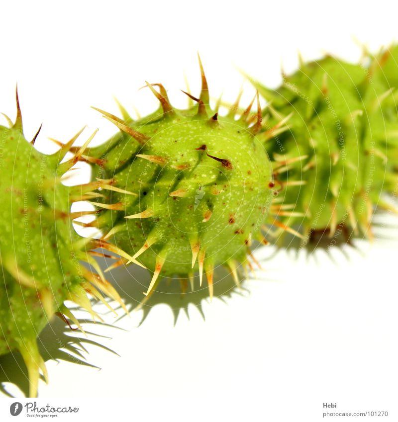 Ping Pong mal anders grün Sommer gelb frisch bedrohlich rund Ball Spielzeug Vorsicht stachelig Freisteller Stachel stechen außerirdisch Maronen Kastanienbaum