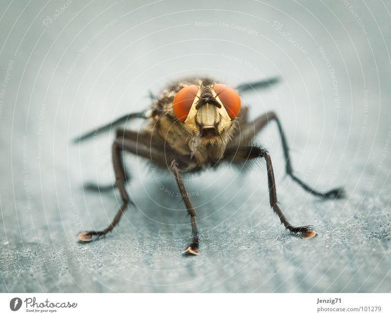 Sarcophaga frontal. Fleischfliege Insekt nerven Makroaufnahme Sarcophaga carnaria Fliege fly fliegen insect Flügel rechnen lästig Schädlinge