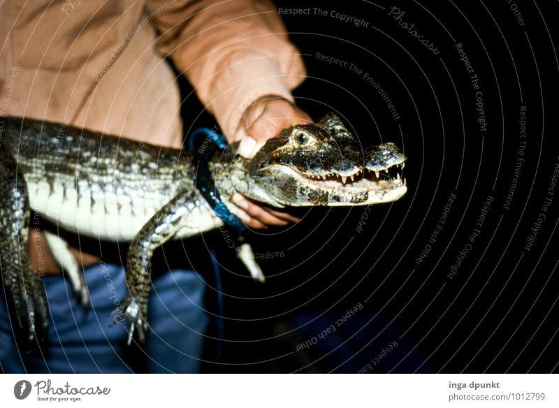 Kroko oder Groko? Umwelt Natur Tier Urwald Wildtier Tiergesicht Krokodil Echsen Echsenauge tierfänger Reptil 1 Tierjunges fangen festhalten Fressen Umweltschutz