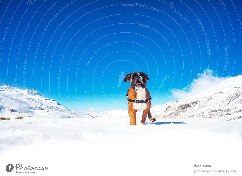 Hund im Schnee Himmel Natur blau weiß Landschaft Wolken Freude Tier Winter kalt Berge u. Gebirge außergewöhnlich braun Freundschaft
