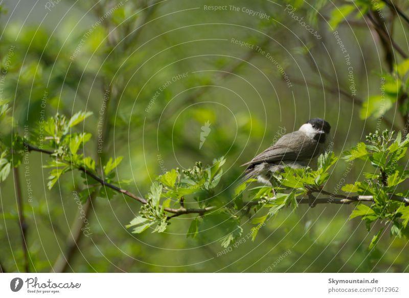 Weidenmeise oder Mönchsmeise Natur schön grün weiß Tier schwarz Wald Wiese grau Glück Garten fliegen Vogel Park Feld Wildtier