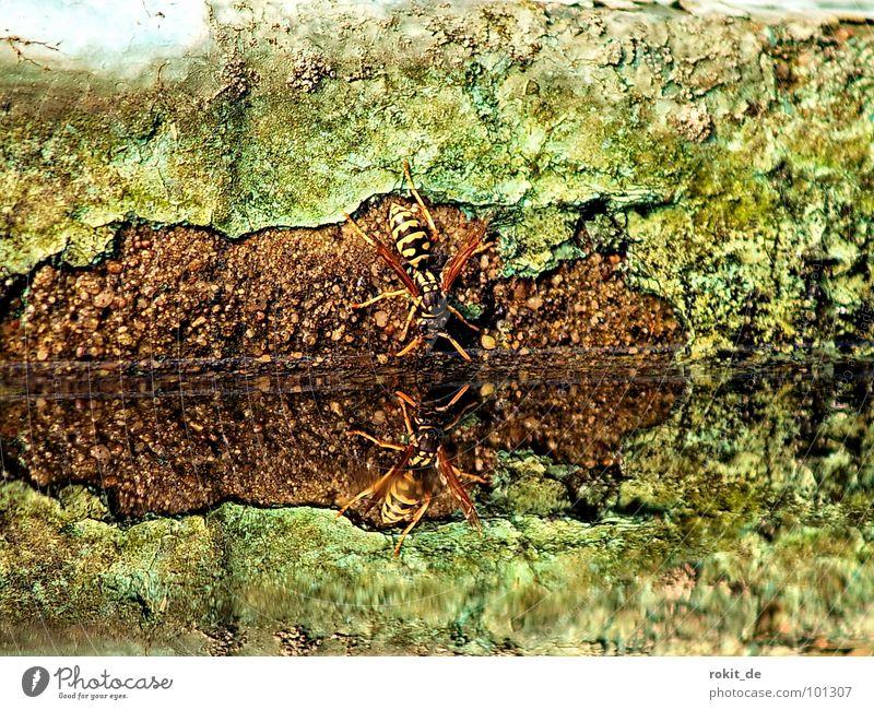 Prost Wasser grün schwarz gelb Wand Geschwindigkeit Flügel Insekt Spiegel Oberfläche Teich Glätte Halt Durst Wespen Durstlöscher