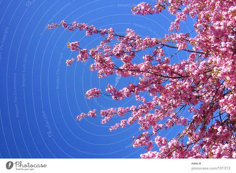Ein Tag im Frühling Natur Himmel Wolkenloser Himmel Schönes Wetter Baum Blüte Park Blühend Duft exotisch frisch blau rosa Frühlingsgefühle Farbe Kirschblüten
