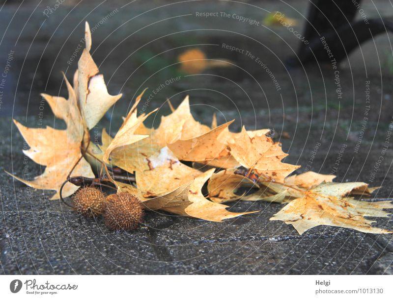 Kraft   ...verloren Natur alt Pflanze Blatt ruhig gelb Leben Herbst natürlich Wege & Pfade grau braun Stimmung liegen authentisch Vergänglichkeit