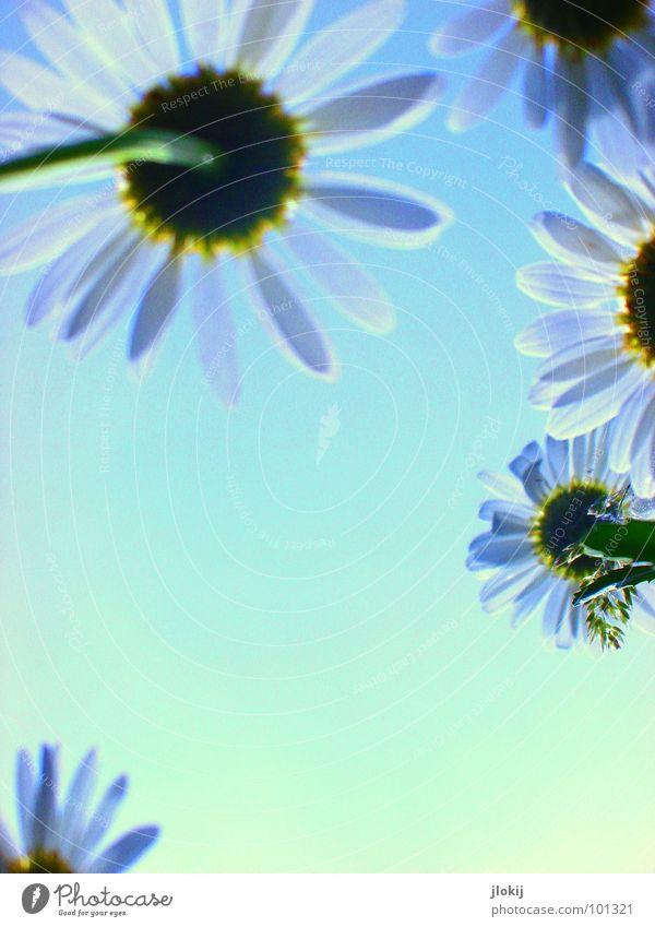 Gegen-Licht-Gestalten VIII Gras grün Gegenlicht Allergiker Pflanze Wiese Frühling Wachstum glänzend Unschärfe Halm Stengel Ähren Feld Blühend Gänseblümchen zart