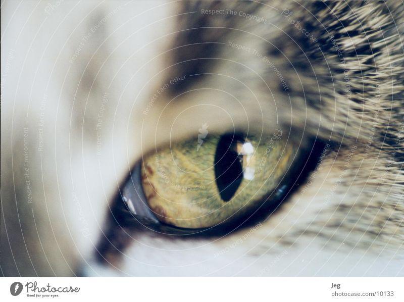 Henriettes Auge Katze Tier Makroaufnahme Nahaufnahme
