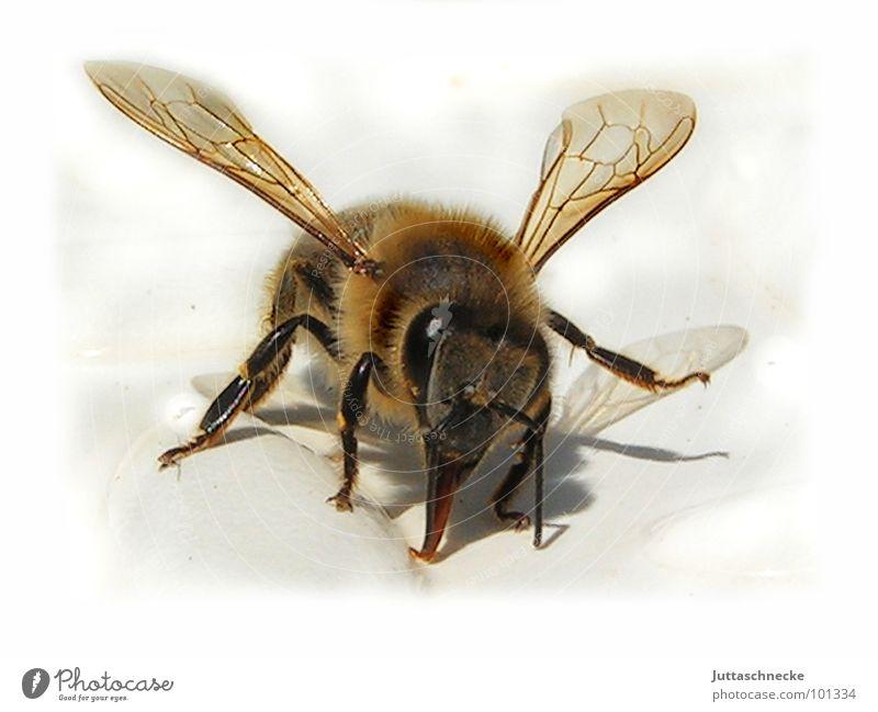 Kuschel Biene Insekt kuschlig weich Makroaufnahme stechen durstig heiß Sommer Honig süß herzlich trinken Rüssel Angst Panik bee bees insect insects fluffy
