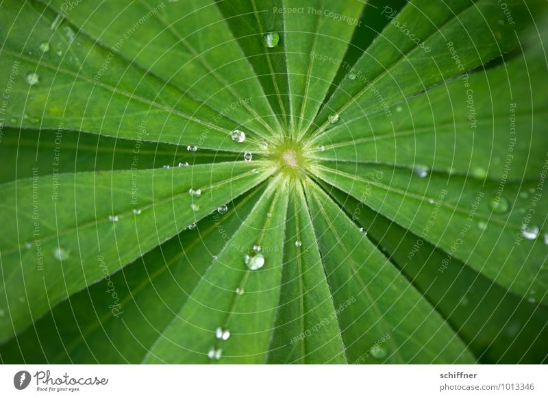 Strahlstern Pflanze grün Wasser Blatt Sträucher Wassertropfen Tropfen Mitte Blattadern Grünpflanze Blattgrün zentral Pflanzenteile strahlenförmig