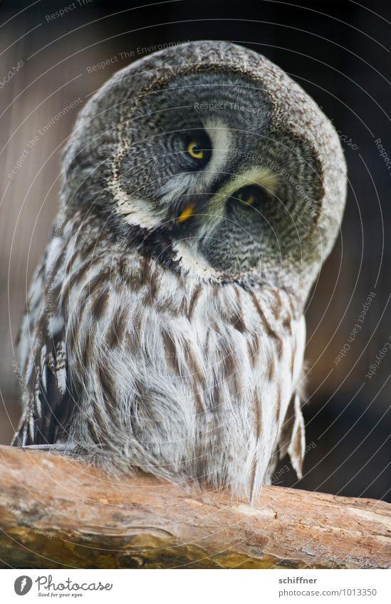 Mich? nach Athen tragen? Tier Vogel Blick nicken verrückt Kopf Auge Eulenvögel Eulenaugen Uhu Kauz Metallfeder Feder Federvieh Schnabel Griechenland Finanzkrise