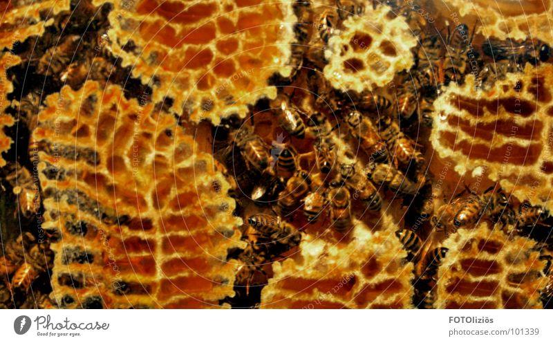 arbeiterstaat Biene Honig gelb Bienenstock Arbeiter Arbeit & Erwerbstätigkeit süß Bienenwaben Nest Streifen flattern Insekt krabbeln Pollen Sportveranstaltung