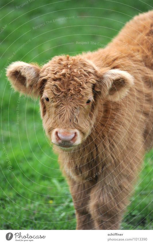 Blondienchen schön grün Tier Tierjunges braun stehen niedlich Ohr Tiergesicht Haustier Zoo Wimpern Vegetarische Ernährung Nutztier Rind Schnauze
