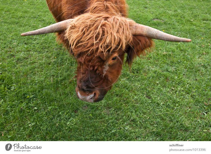 Mama Blondie Tier Nutztier Kuh Tiergesicht Zoo 1 braun grün Gras Sportrasen Schottisches Hochlandrind Ochse Horn blond Perücke Vogelperspektive gefährlich Blick