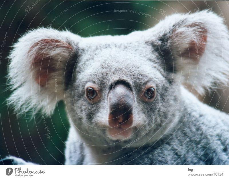 Koala Tier