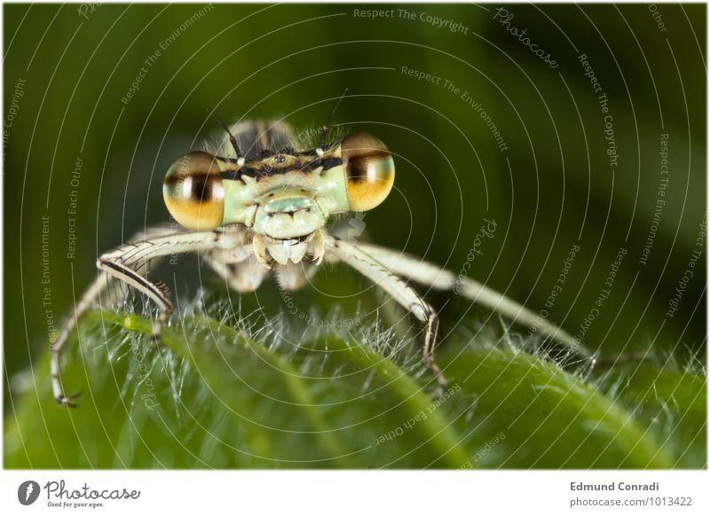Libelle Wildtier Streifen beobachten bedrohlich einzigartig rebellisch grün gereizt Feindseligkeit Aggression Außenaufnahme Makroaufnahme Textfreiraum rechts