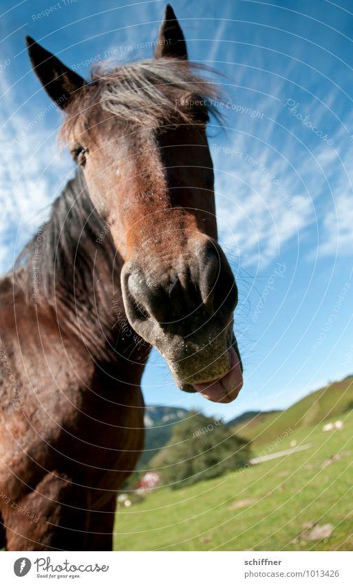 Bäh - Fastenzeit! Tier Haustier Nutztier Pferd Tiergesicht 1 frech Zunge rausstrecken Nüstern Ohr Landschaft Weitwinkel lustig Pyrenäen Außenaufnahme