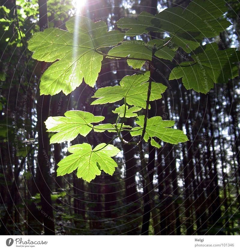 angestrahlt... Baum Sonne grün blau Sommer Freude Blatt gelb Wald Lampe braun Beleuchtung Ast Baumstamm Zweig Ahorn