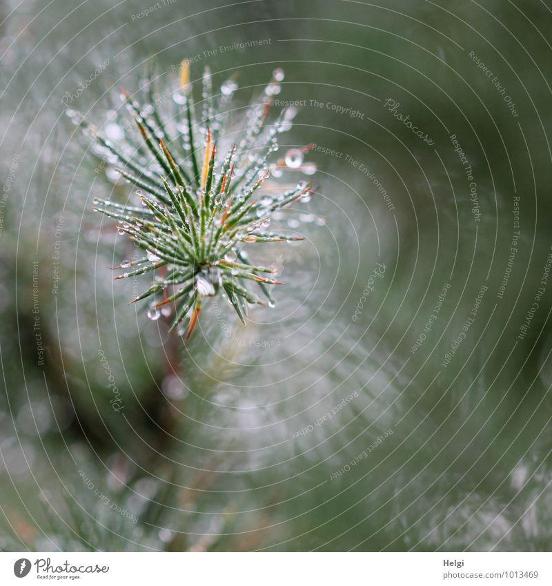 Wasserzeichen | tröpfchenweise... Umwelt Natur Pflanze Wassertropfen Sommer Baum Nutzpflanze Fichte Tanne Zweig Tannennadel Wald glänzend Wachstum ästhetisch