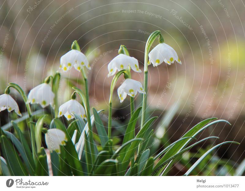 Frühling einläuten... Umwelt Natur Landschaft Pflanze Schönes Wetter Blume Blatt Blüte Wildpflanze Märzenbecher Frühblüher Frühlingsblume Wald Blühend stehen