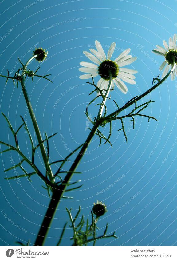 Kamille und Himmel I Gegenlicht Blume Blüte Heilpflanzen Wiesenblume Sommer grün weiß blau zart filigran