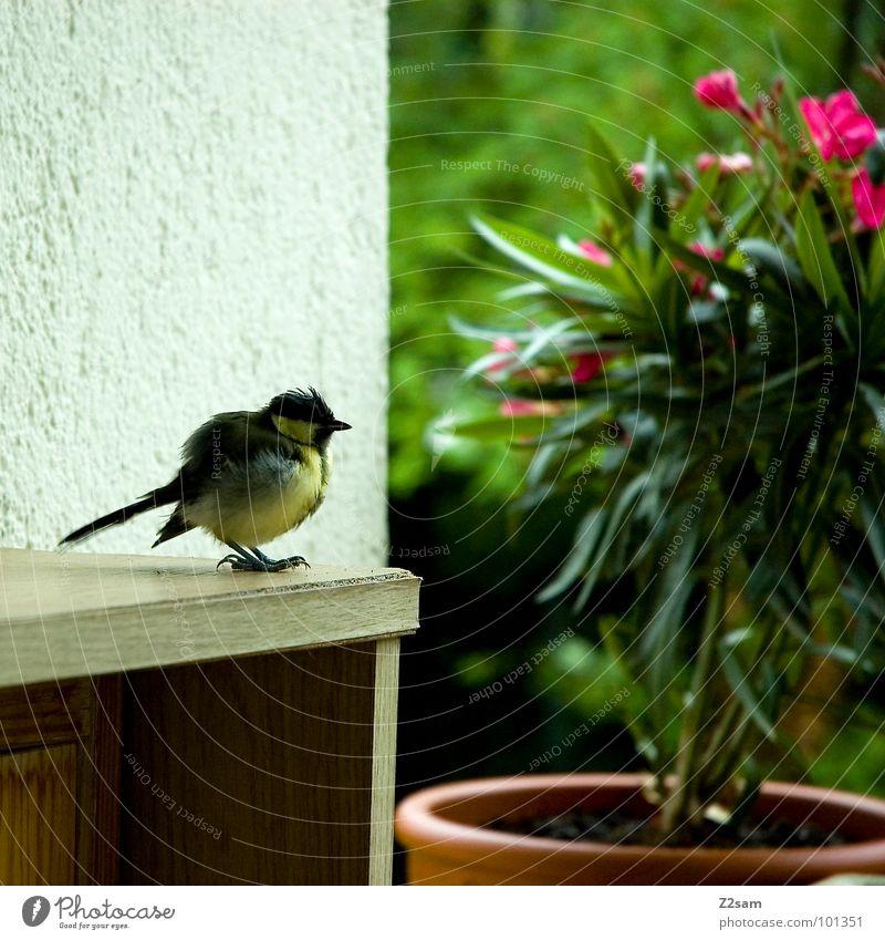 vogerl Vogel Balkon Blume Pflanze Holz Schrank Blumentopf grün Baum Wand süß klein Feder gelb Krallen stehen Tier niedlich sitzen Flügel fliegen Erholung warten