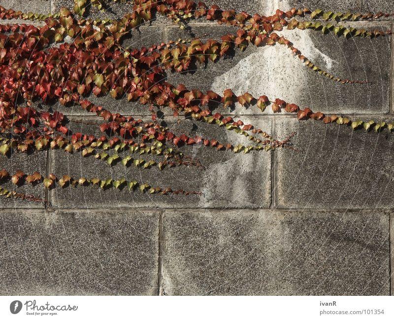 ausbreitung Natur Pflanze rot Wand grau Stein Beton verfallen Gegenteil Bremen