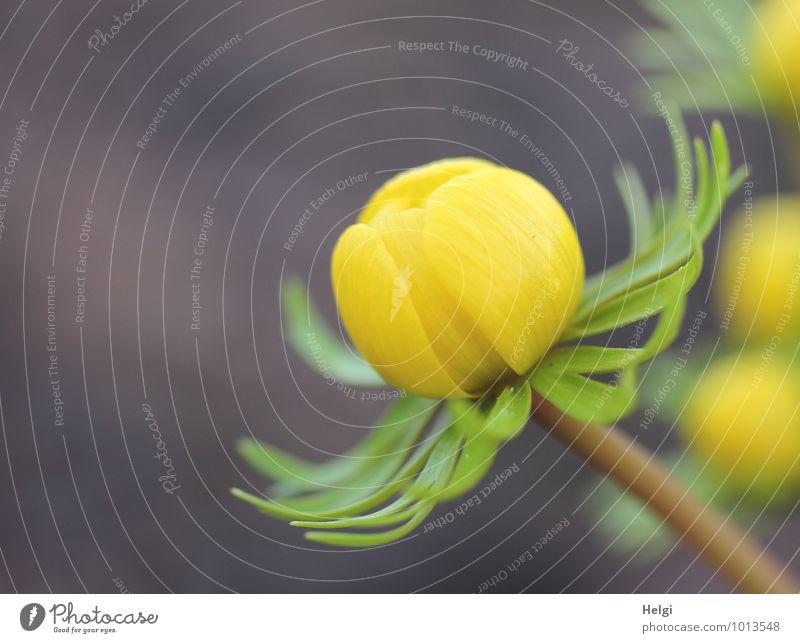 Tschüss liebe Anne... Umwelt Natur Pflanze Frühling Blume Winterlinge Frühblüher Garten Blühend wandern ästhetisch schön klein natürlich braun gelb grün