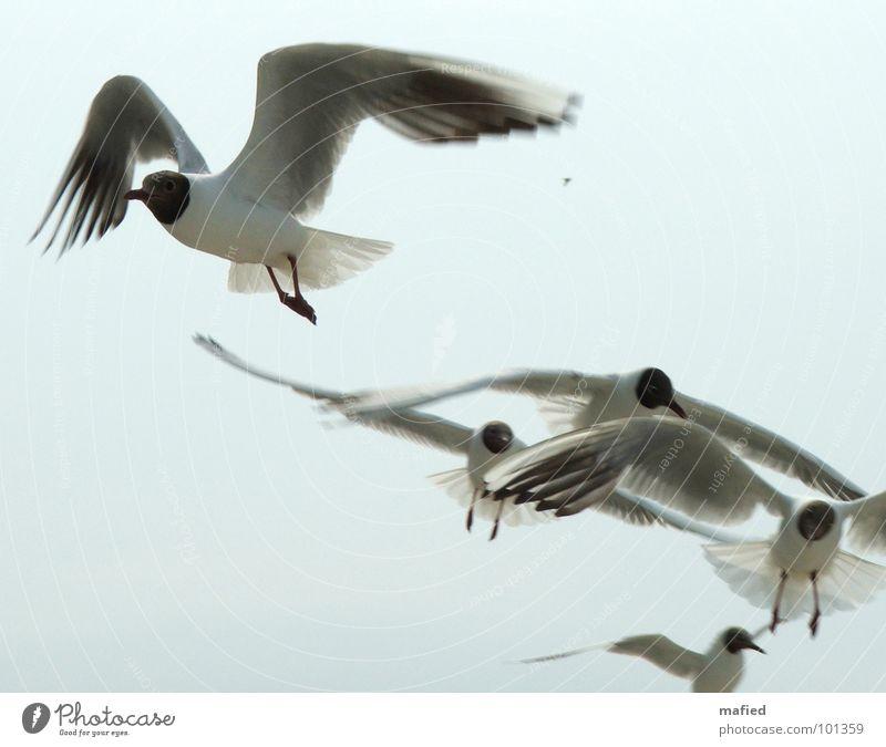 Strandpiraten Möwe Lachmöwe weiß Dieb betteln lungern Futter entwenden Überfall Vogel Luftverkehr fliegen Flügel Flugphase Flügelstellung silber blau Himmel