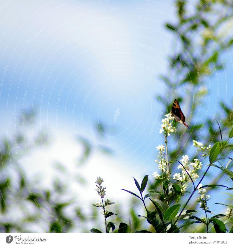 halt dich fest.... Sträucher Schmetterling Blüte Hintergrundbild weiß Wolken Tagpfauenauge Sommer Sonne Ernährung saugen bestäuben blau Himmel White Blue Heaven