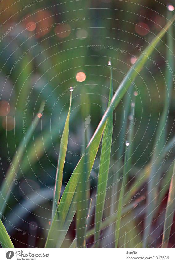 Graswiese mit Lichtreflexen Achtsamkeit Grasbüschel Grasspitzen Grashalme Wildpflanze Wiese Sommerwiese Tau Tautropfen Nachmittagssonne Nachmittagslicht