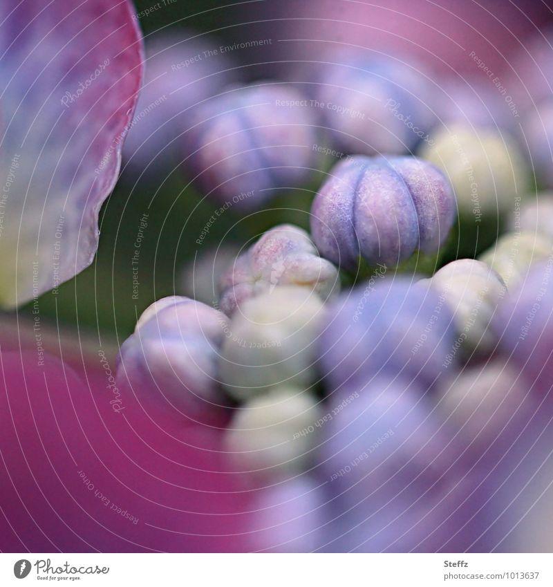 Hortensie im Juli blühende Hortensie Hortensienblüte Jungpflanze Blütenknospen Sommerblume blühende Sommerblume Sommerblumen Hydrangea blühende Blume kurz davor
