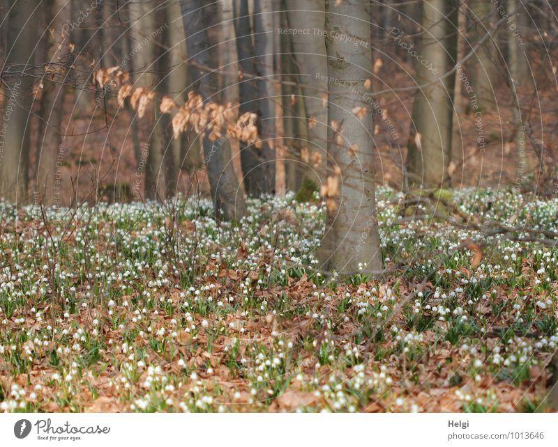 im Märzenbecherwald... Umwelt Natur Landschaft Pflanze Frühling Schönes Wetter Baum Blume Blatt Blüte Wildpflanze Frühblüher Buche Baumstamm Waldboden Blühend