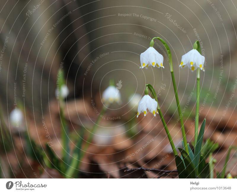 Frühlingsboten... Umwelt Natur Landschaft Pflanze Schönes Wetter Blume Blatt Blüte Wildpflanze Märzenbecher Wald Blühend stehen Wachstum ästhetisch authentisch