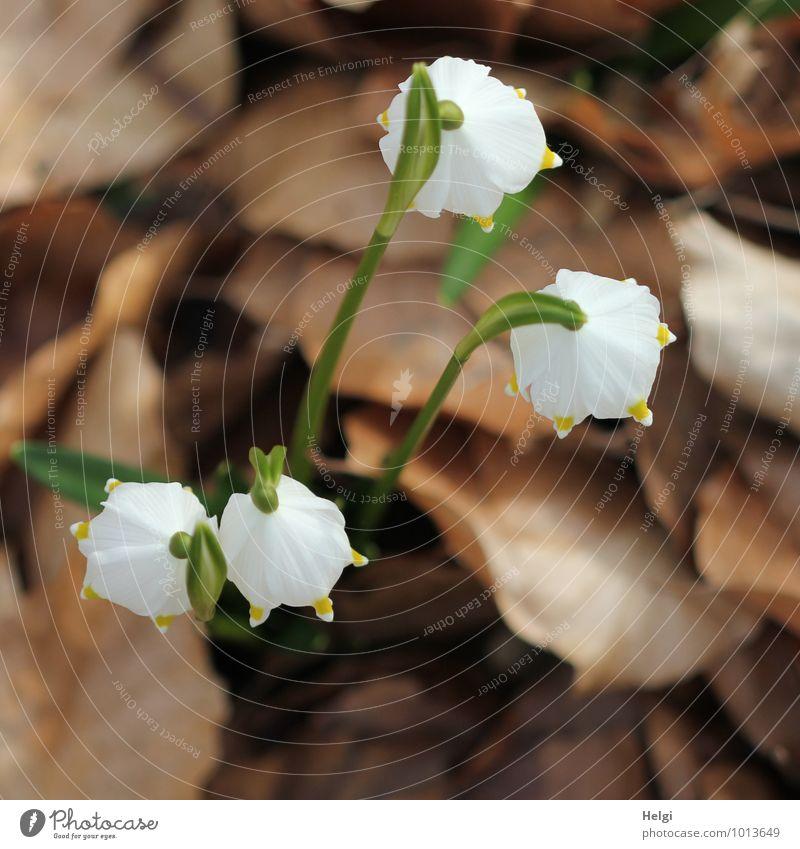 von oben herab... Umwelt Natur Landschaft Pflanze Frühling Blume Blatt Blüte Wildpflanze Märzenbecher Frühlingsblume Frühblüher Wald Blühend stehen Wachstum