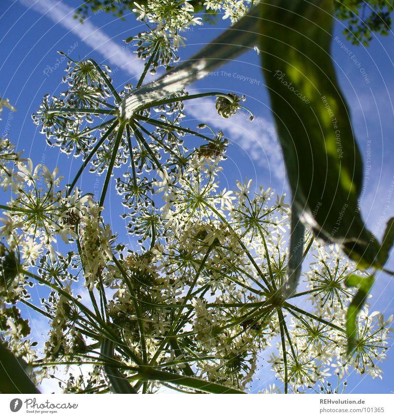 Schattenspender für Käfer Pflanze Blume Wachstum Blüte Wolken aufstrebend gedeihen strahlend Sommertag grün weiß frisch Beleuchtung Wiese Luft Kraft Himmel blau