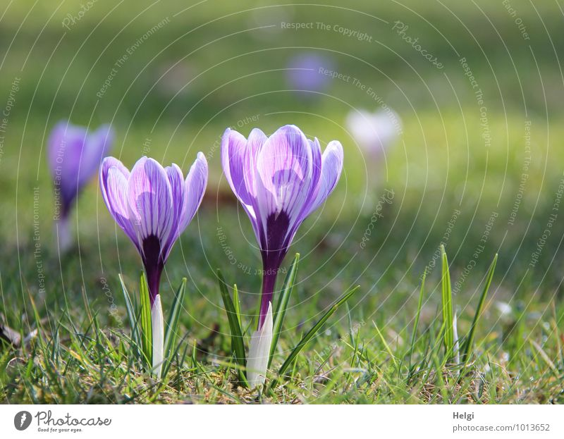 Frühlingsblümchen... Umwelt Natur Landschaft Pflanze Schönes Wetter Blume Gras Blatt Blüte Krokusse Frühblüher Frühlingsblume Park Wiese Blühend stehen Wachstum