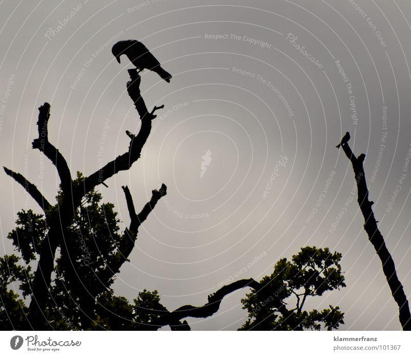 Die beiden Baumwächter Vogel Krähe schwarz weiß grau dunkel trüb verwaschen Blatt Wolken Rabenvögel ruhig Unendlichkeit Leben Nacht Trauer Vergänglichkeit
