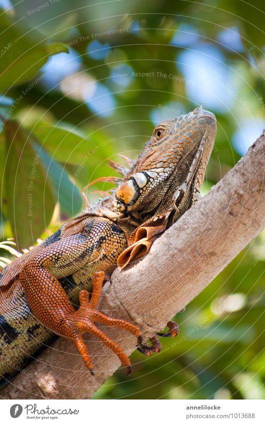 Iguana Natur Ferien & Urlaub & Reisen Sommer Tier Wald Umwelt orange Wildtier sitzen Ast Schönes Wetter Abenteuer festhalten Klettern Sommerurlaub Urwald